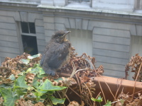 Baby_blackbirds_first_brave_perch_17_may