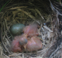Crop_baby_blackbirds_on_kitchen_balcony_
