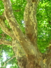 Plane_tree_from_cooldesource
