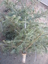 Thrownout_christmas_tree